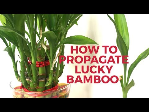 How to grow Lucky Bamboo from cuttings|| How to propagate Lucky Bamboo- Backyard Gardening