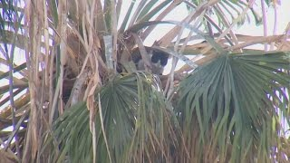 Cat stuck up a 65-foot palm tree for two weeks with no food or water
