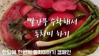 새싹채소로 먹던 적무씨앗 뿌려서 빨간무동치미 담궜어요.…