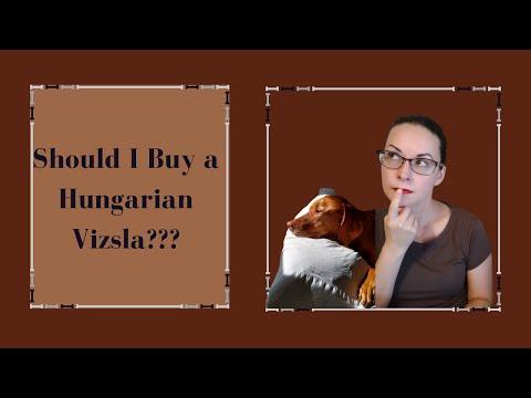Should I buy a Vizsla??