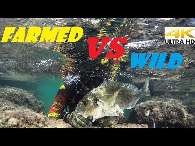 FARMED VS WILD SEA BREAM☣️THE CHOICE IS YOURS |Spearfishing Life 🇬🇷 [4K] ✅