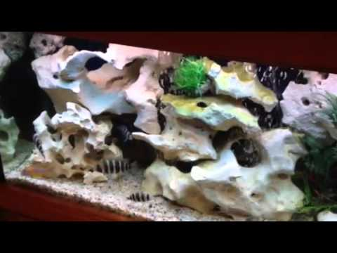 nice cichlid tank with texas holey rock youtube