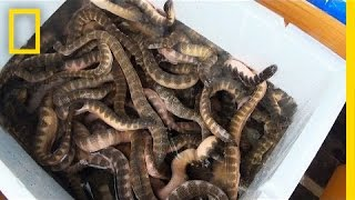 is eating venomous sea snakes a bad thing national geographic