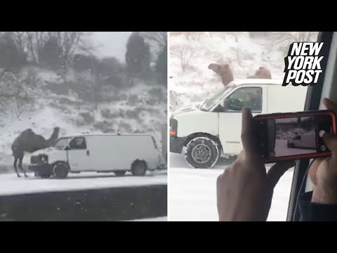 Camel stuck in the snowstorm shocks drivers