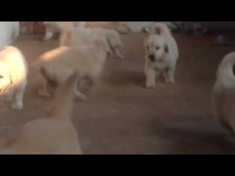 Golden Retriver Pups For Sale In Bangalore Youtube