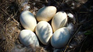 Download Find Goose Eggs Video Sosoclip Com