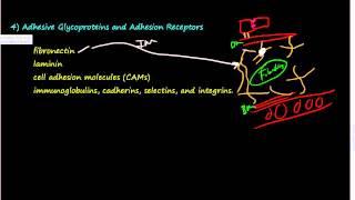 #37- Extracellular Matrix (ECM) 2 of 2 -Elastin, Proteoglycans, Hyaluronan, Integrins, GAG