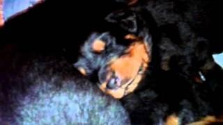 Первое кормление щенков ротвейлера 2