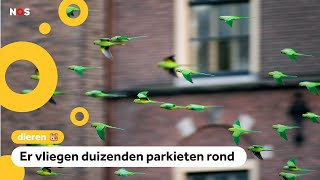 In Nederland vliegen superveel exotische vogels