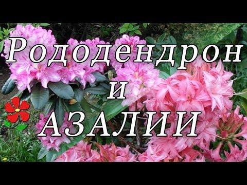 Рододендрон листопадный или азалия: обзор!
