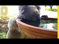 Koalas Are Suddenly Behaving Strangely. Why? | National Geographic