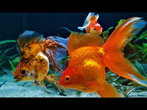 Fancy Goldfish! New look and Feeding Repashy Super Gold