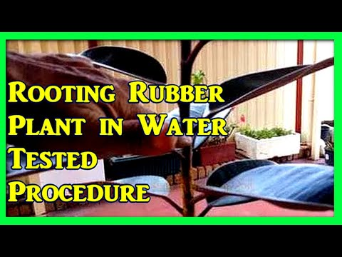 Rubber Plant Propagation : Rooting Rubber Tree In Water