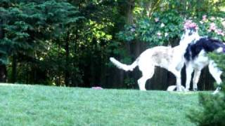 Borzoi Puppies Alek and Zasha Playing