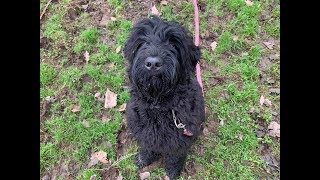Gilly - Black Russian Terrier - 6 Weeks Residential Dog Training