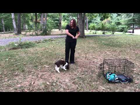 Blake  3 weeks of training  12 week old English Springer Spaniel