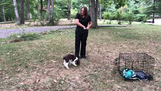 Blake  3 weeks of training  12 week old English Springer Spaniel