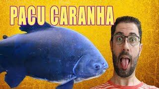 Wie man einen Fisch Pacu Caranha, in einem fish tank