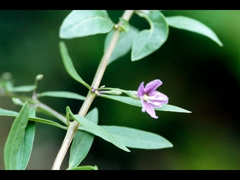 Goji Berry Is Flowering Finally Migardener Youtube