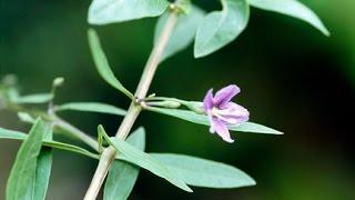 Goji Berry is Flowering FINALLY! | MIgardener