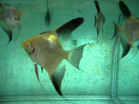 how to tell male and female angelfish