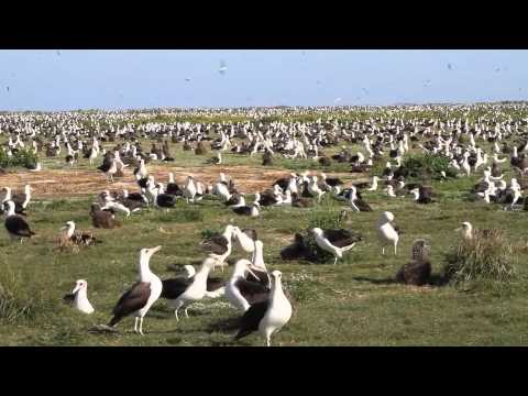 Laysan Albatross in all their Glory at Midway Atoll