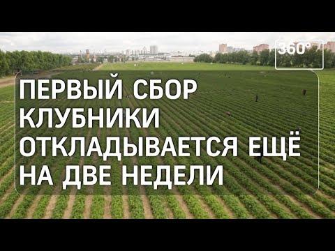 Клубника в Совхозе имени Ленина не созрела из-за погоды