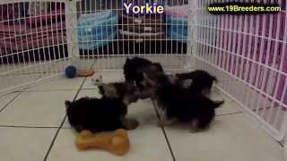 Yorkie, Puppies,for,sale, In,orlando Florida, Fl, Deltona,melbourne,palm Coast,