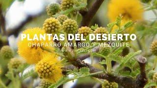 Plantas del Desierto - Chaparro Amargo y Mezquite