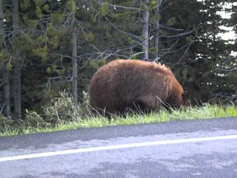 Yellowstone Black Bear!
