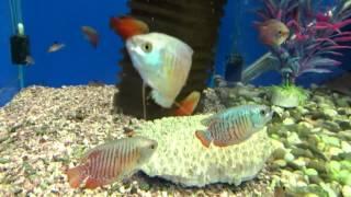 Аквариумная рыбка Лялиус - Содержания и уход!