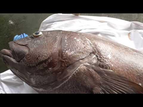西村様が釣り上げた超大物 イシナギ185cm、約80キロ (遊漁船『舛丸』利用)
