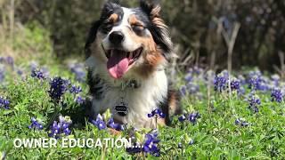 "Australian Shepherd ""Watson"" | Dog-Reactive Training | Aggressive Dog Trainers San Antonio"
