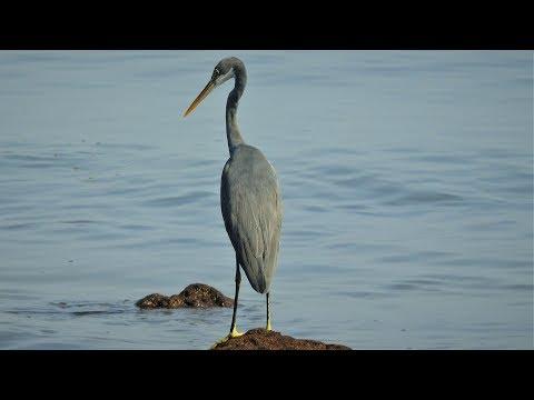 Grey Heron Hunting For Fish