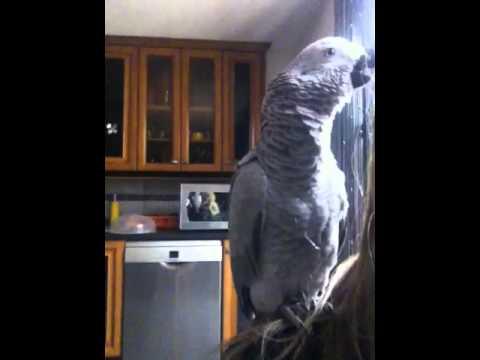Kitty est ses bruits d'animaux!!! Perroquet gris du gabon