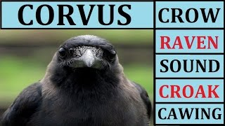 Crow Sounds Sound Effect Effects Cawing Caw Call Noises Noise Raven Scary Fx Loud for Children Kids