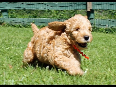 Goldendoodle Puppies 7 Weeks Old Cute Explosion Playing In The Grass And Having Fun