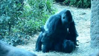 Gorilla Baby Love at the Zoo