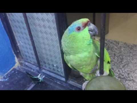 Papagaio conversando muito engraçado