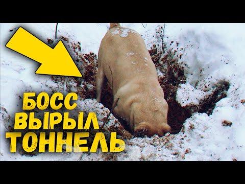 Собака ныряет в сугробы в снежном лесу. Зачем пес вырыл яму? Приколы с животными / SANI vlog