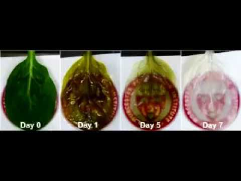 Spinach Leaves Used to Grow Human Heart