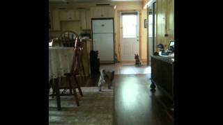 Cairn Terrier Puppy Stalking