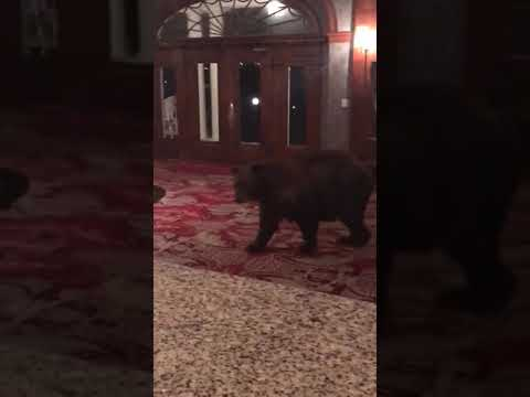 Un oso entra en el hotel que inspiró 'El Resplandor'