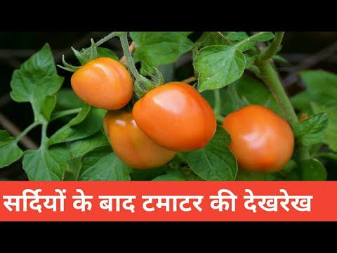 Growing tomatoes in Container    Tips for winter vegetables