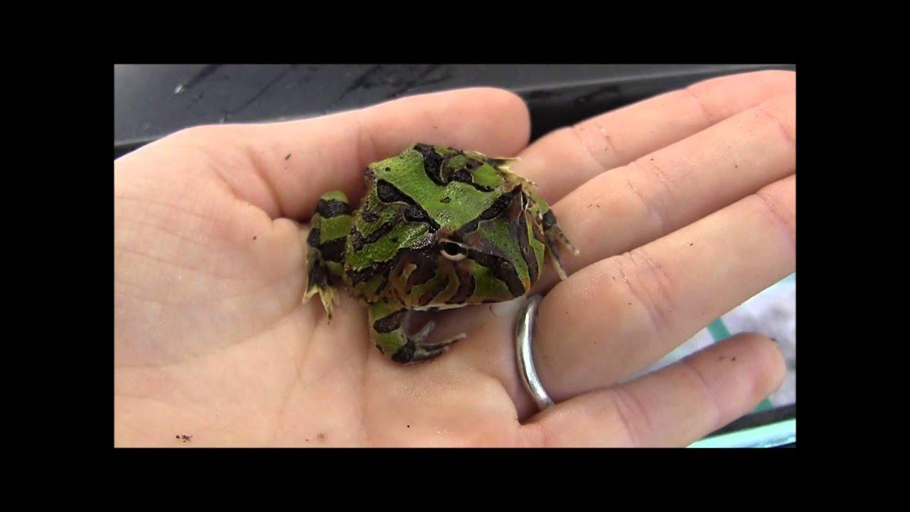 Fantasy pacman frog - photo#23