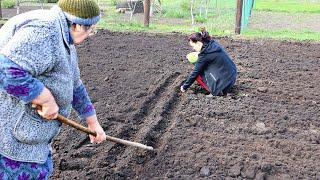 Почему бабушка сажает лук только под зиму? Секреты большого урожая озимого лука.