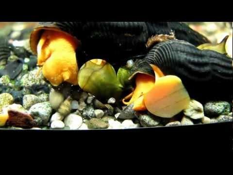 %Tylomelania sp Pure Orange -Bright Orange Sulawesi Snail -Poso Orange Rabbit  -оранжевая