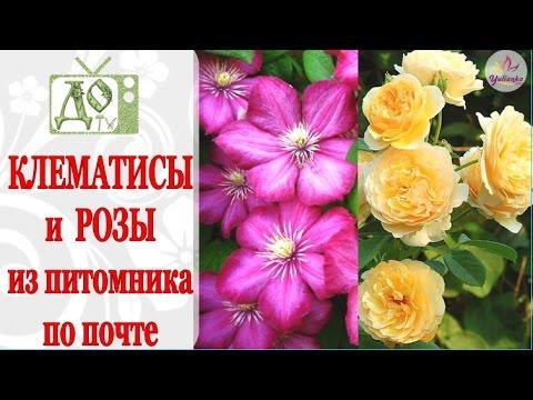 ПОСЫЛКА с РОЗАМИ и КЛЕМАТИСАМИ. Растения из питомника по почте / Оценим посадочный материал