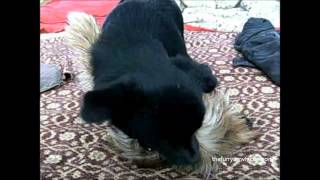 A Different Kind Of Play Yorkshire Terrier And Mixed Breed