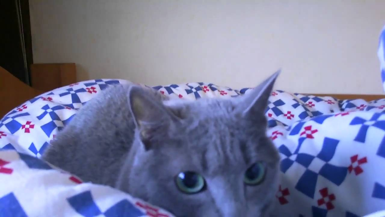 Big Earthquake In Japan And Russian Blue Cat YouTube